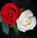 mawar-merah-putih